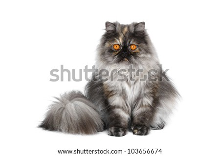 Persian cat in studio on a white background