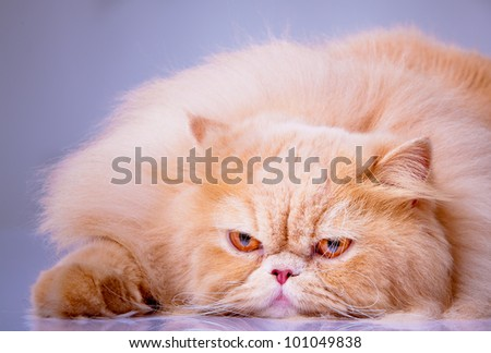 persian cat isolated on white. Persian cat portrait - stock photo