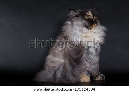 Persian cat, kitten on black background