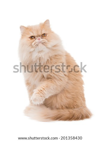 Persian cat on a white background. - stock photo