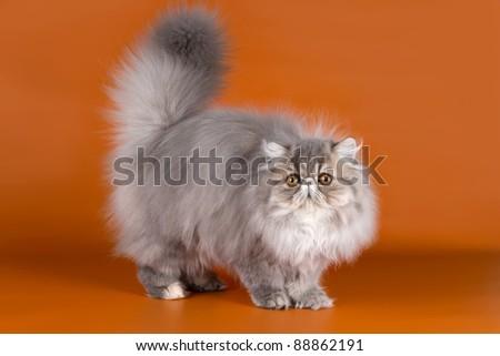 Persian cat on orange background - stock photo