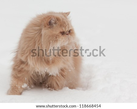 Persian cat on the snow