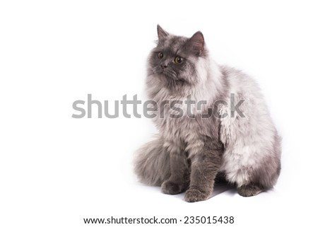 Persian cat on white background - stock photo
