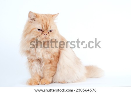 persian cat on white. Persian cat portrait