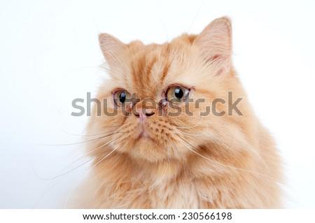 persian cat on white. Persian cat portrait - stock photo