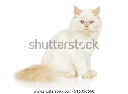 Persian cat posing in front of white background