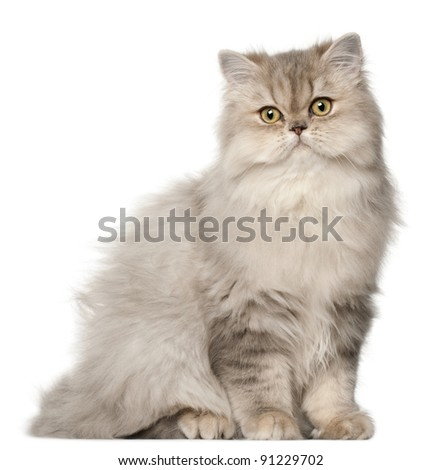 Persian cat, sitting in front of white background - stock photo
