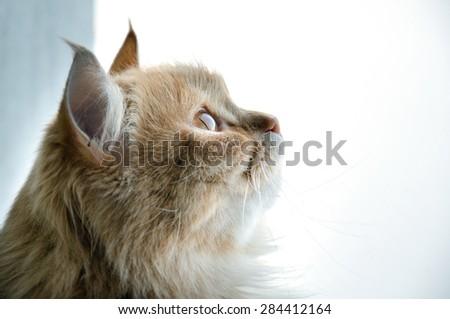 Persian cat sitting near the window  - stock photo