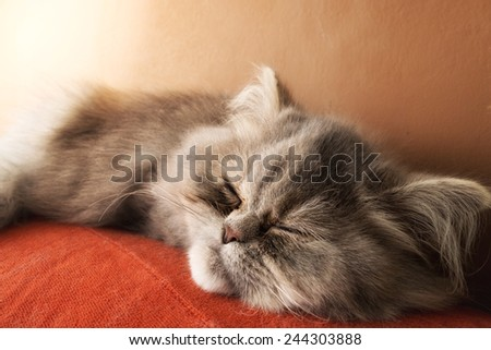 Persian cat sleeping on the couch - stock photo