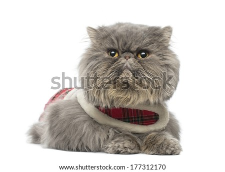 Persian cat wearing a tartan harness, lying, looking away, isolated on white - stock photo
