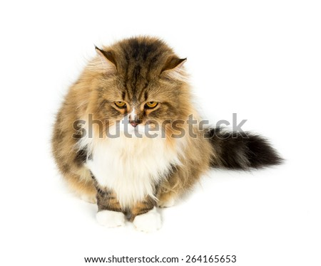 Persian cat, 7 years old, in front of white background
