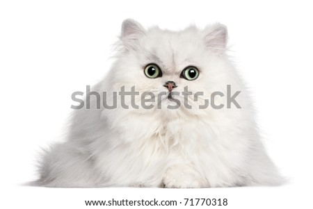 Persian cat, 2 years old, in front of white background - stock photo