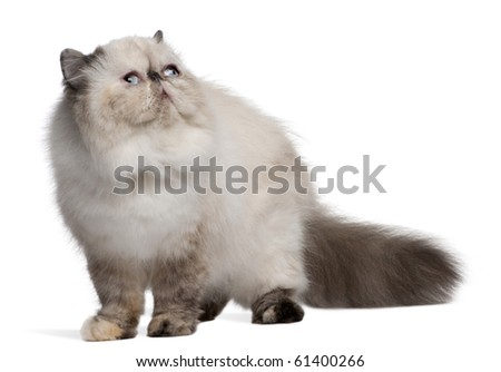 Persian Cat, 2 years old, looking up in front of white background - stock photo