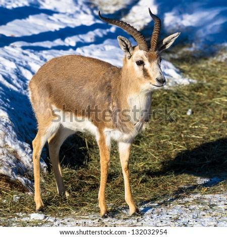 Persian gazelle closeup - stock photo