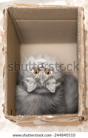 Persian gray cat in a cardboard box - stock photo