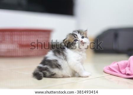 persian kitten - stock photo
