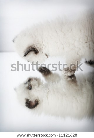 persian kitten and his reflection - stock photo