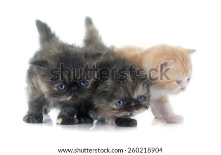 persian kitten in front of white background - stock photo