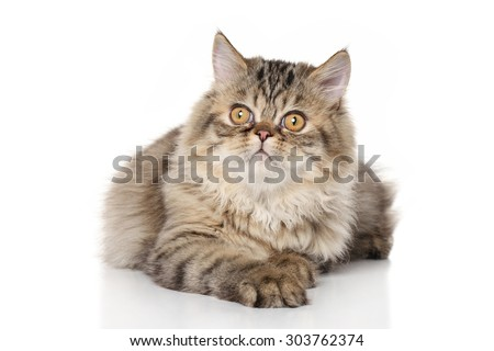 Persian kitten lying in front of white background