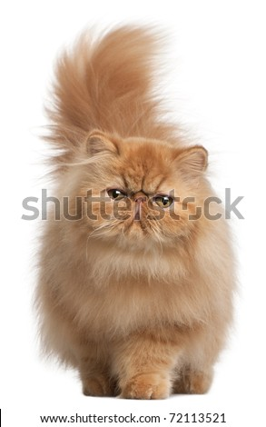 Persian kitten, 6 months old, in front of white background - stock photo