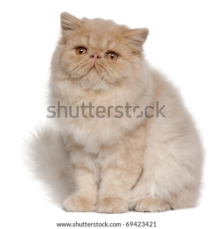 Persian kitten, 5 months old, sitting in front of white background