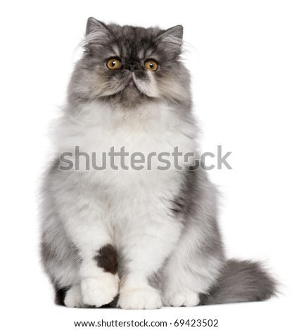 Persian kitten, 6 months old, sitting in front of white background