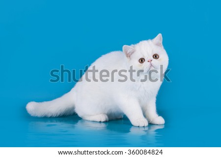 Persian kitten on blue background isolated