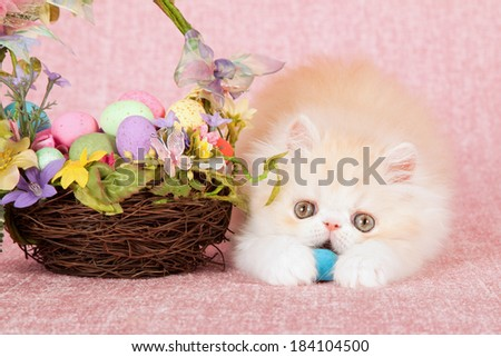 Persian kitten playing with and eating Easter egg next to basket filled with Easter eggs, on pink background  - stock photo
