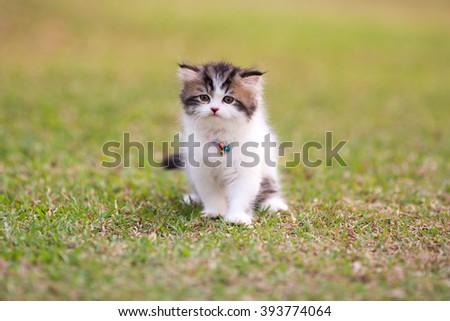 Persian kittens - stock photo