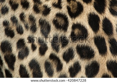 Persian leopard (Panthera pardus saxicolor), also known as the Caucasian leopard. Fur texture. Wild life animal.  - stock photo