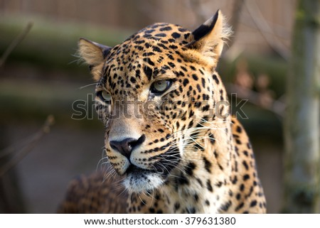 Persian leopard (Panthera pardus saxicolor), known as the Caucasian leopard - stock photo