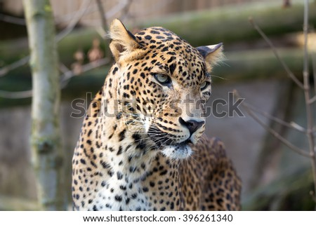 Persian leopard (Panthera pardus saxicolor), known as the Caucasian leopard - stock photo
