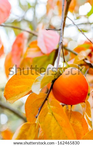 Persimmon hanging on a tree with colorful autumn leaves. Close up with selective focus on the fruit. - stock photo