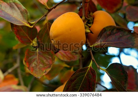 Persimmon on a tree with autumn leaves - stock photo