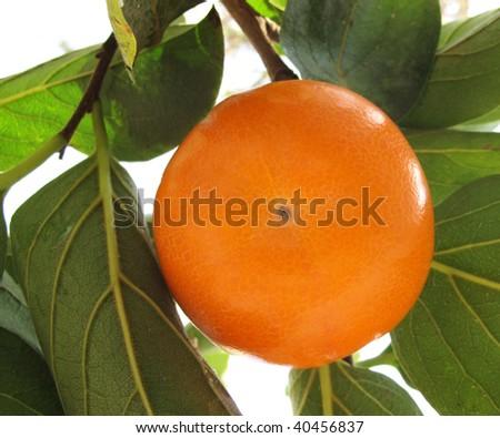 Persimmon on tree - stock photo