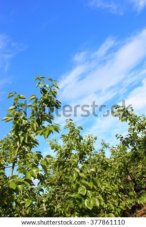 Persimmon tree - stock photo