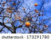 Persimmon tree with kaki fruits in December in Jardin des Plantes garden in Paris, France  - stock photo