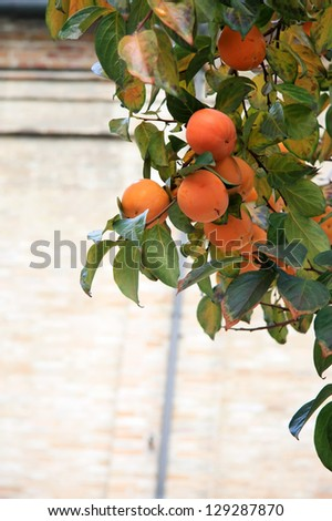 Persimmon tree with ripe orange fruits, date plums in autumn - stock photo