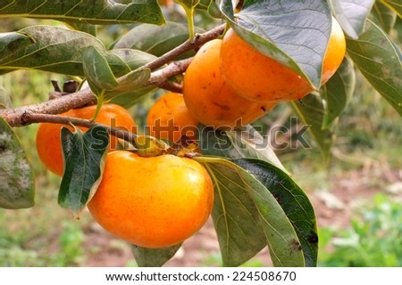 persimmons growing on a tree - stock photo