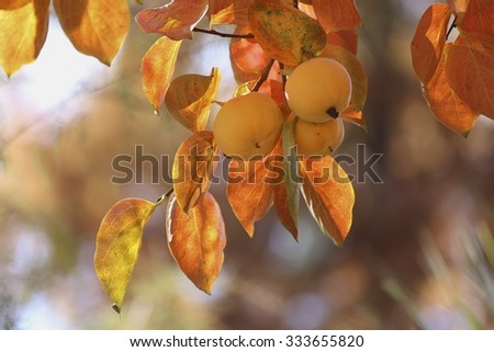 Persimmons on tree with bokeh and autumn leaves colour - stock photo