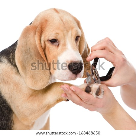 person cutting dog toenails. isolated on white background - stock photo