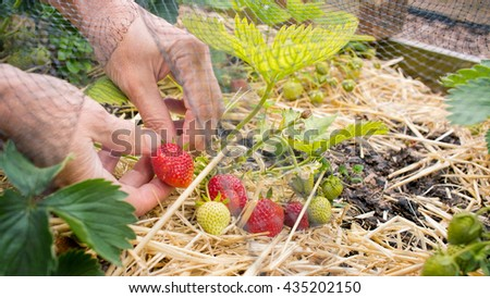 Person Picking strawberries, home grown fruit and vegetable garden. - stock photo