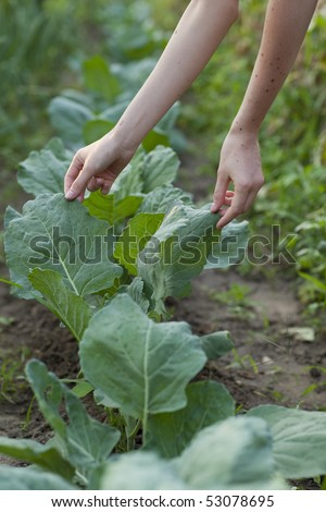 Person picking up fresh cabbage - stock photo