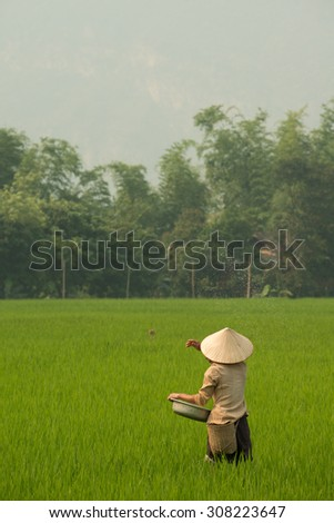 Person seeding the fields with rice in Mai Chau in Vietnam