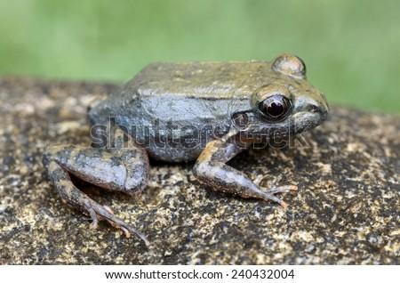 Peru white-lipped frog (Leptodactylus rhodonotus) - stock photo
