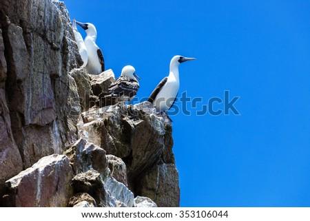 peruvian gannets on rocks of Ballestas Islands - stock photo