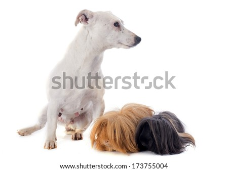 Peruvian Guinea Pig and jack russel terrier in front of white background