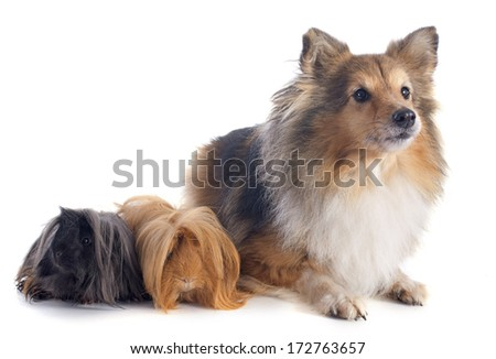 Peruvian Guinea Pig and shetland sheepdog in front of white background