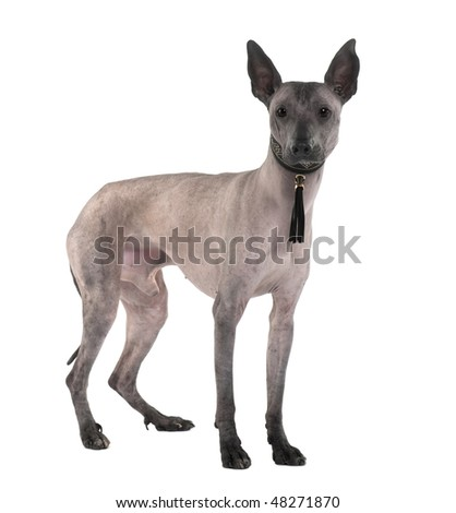 Peruvian Hairless Dog, 3 Years old, standing in front of white background - stock photo