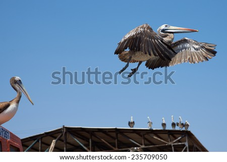 Peruvian Pelican (Pelecanus thagus) in flight in the fishing harbour of Africa in Northern Chile